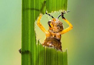 饥肠辘辘蝗虫大吃叶子有趣瞬间